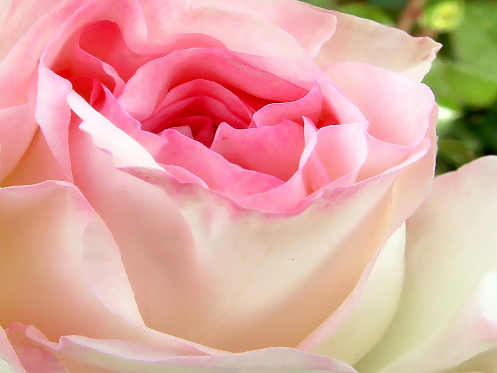 розы нежные цветы