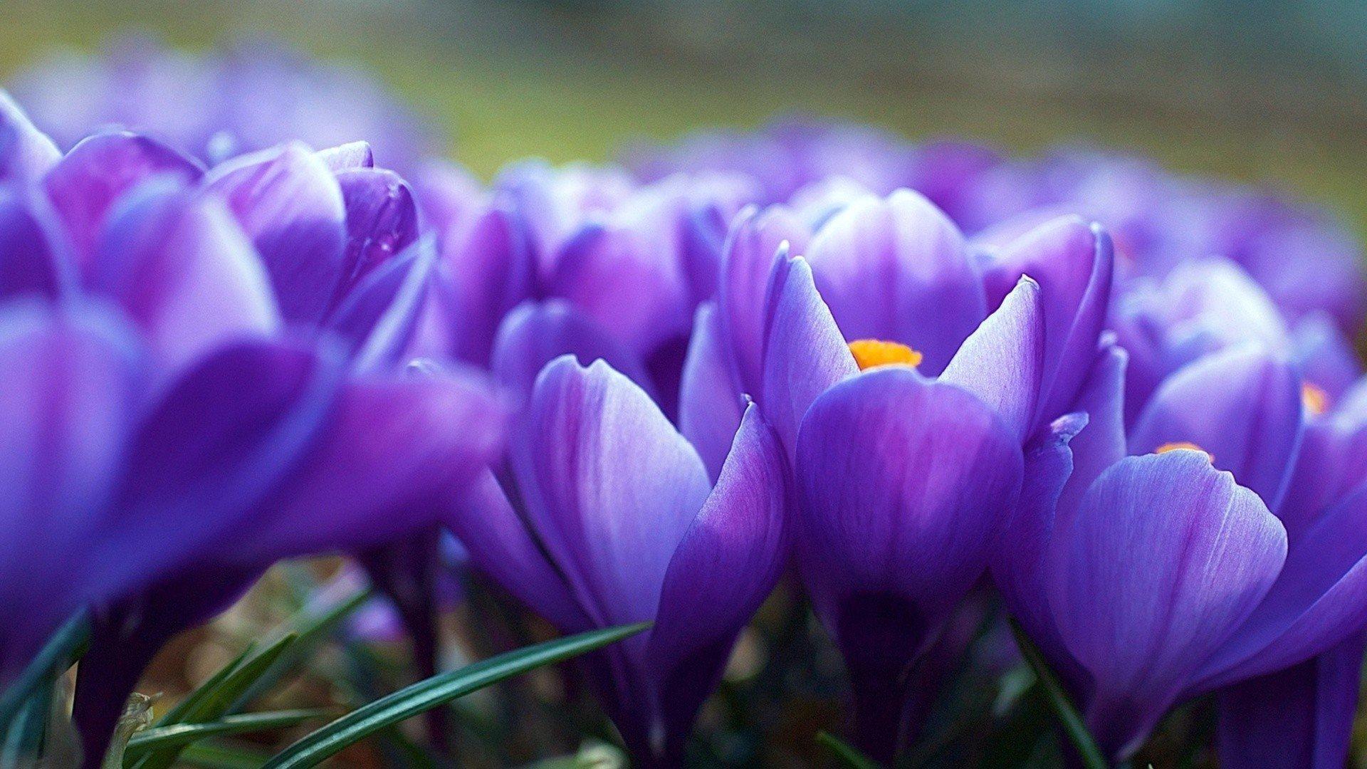крокусы нежные цветы