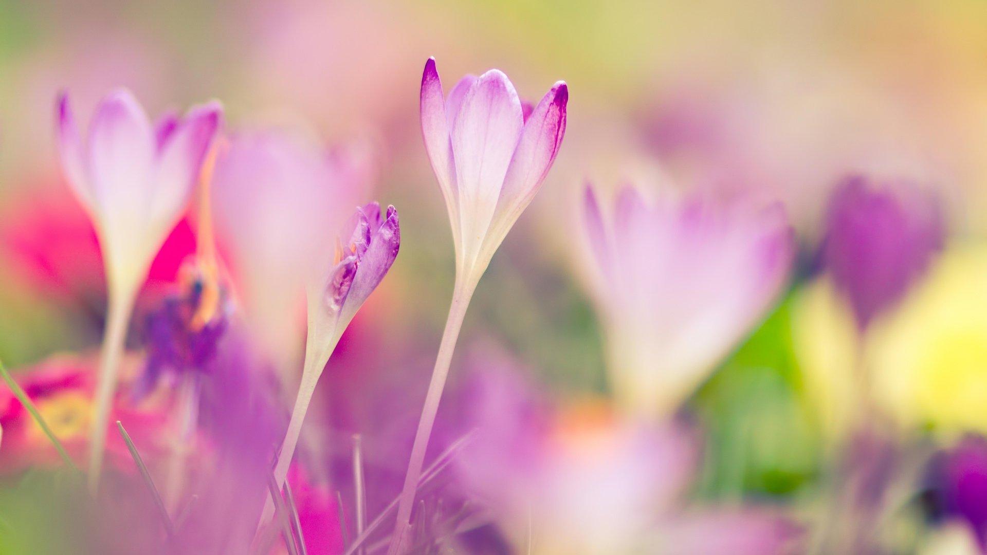 шафран нежные цветы