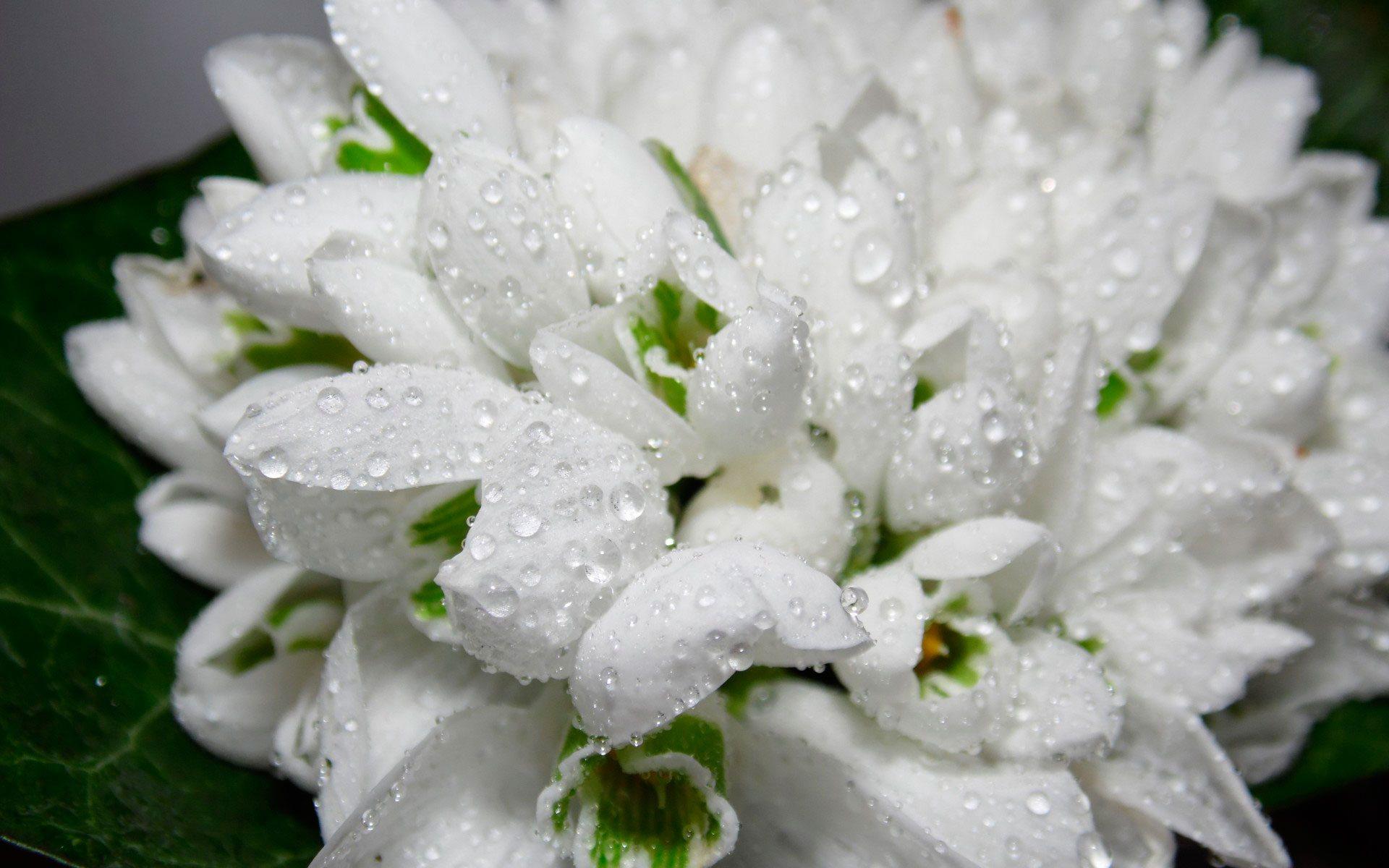 подснежники нежный букет цветов