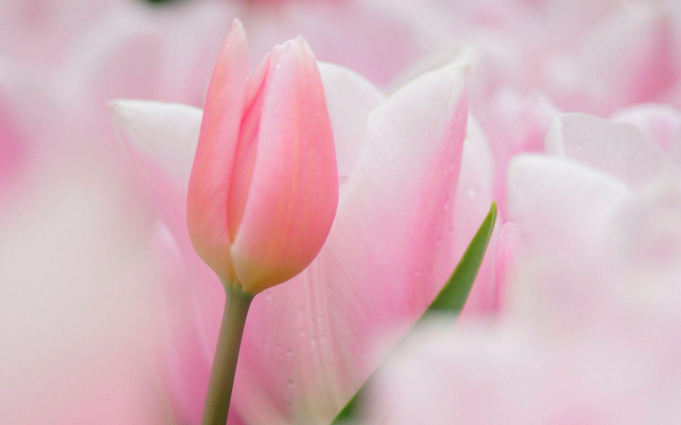 розовые нежные цветы