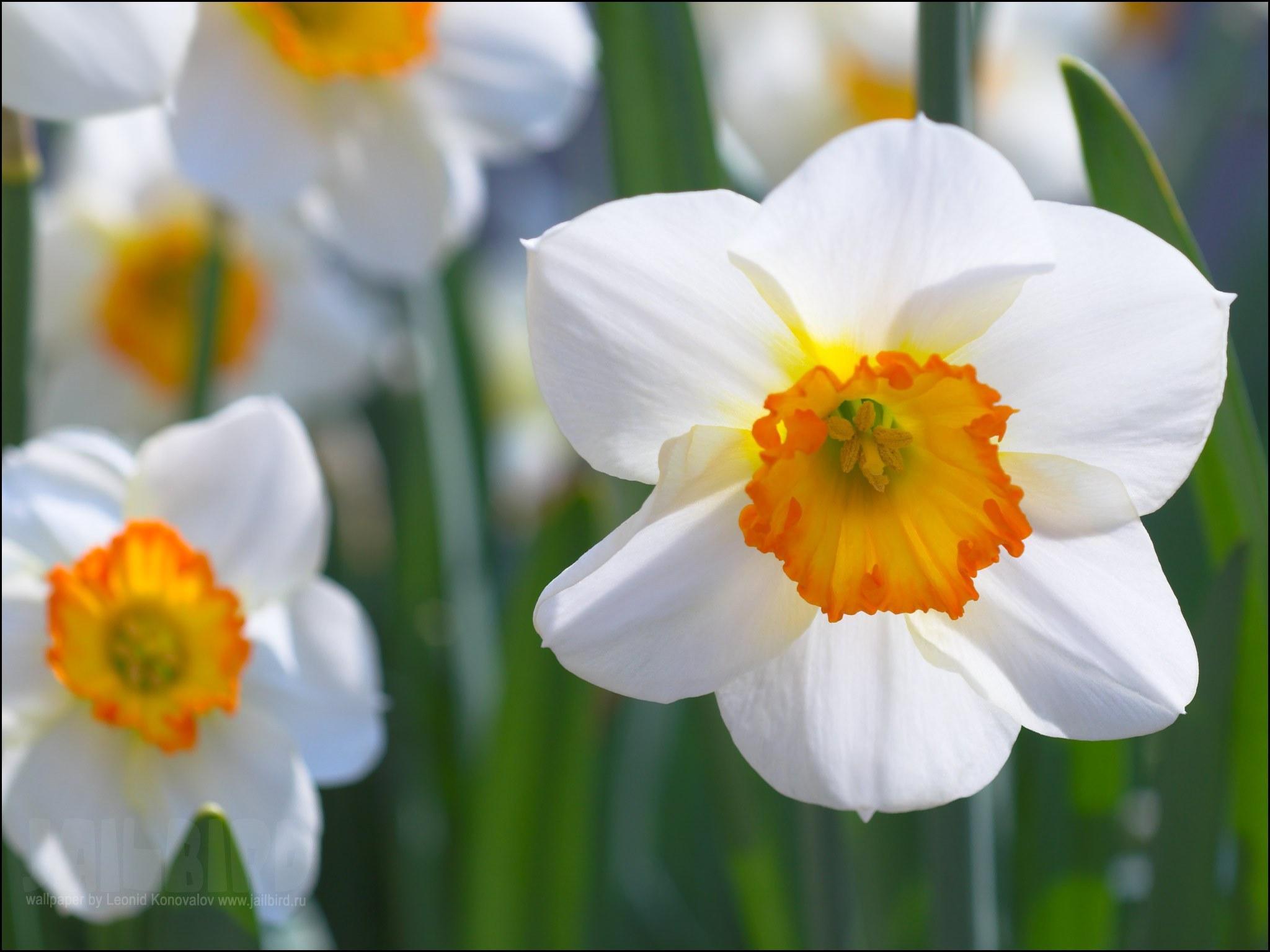 нежные цветы для сада
