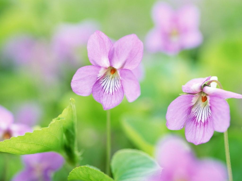 фиалки  нежные цветы