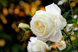 красивые белые розы фото