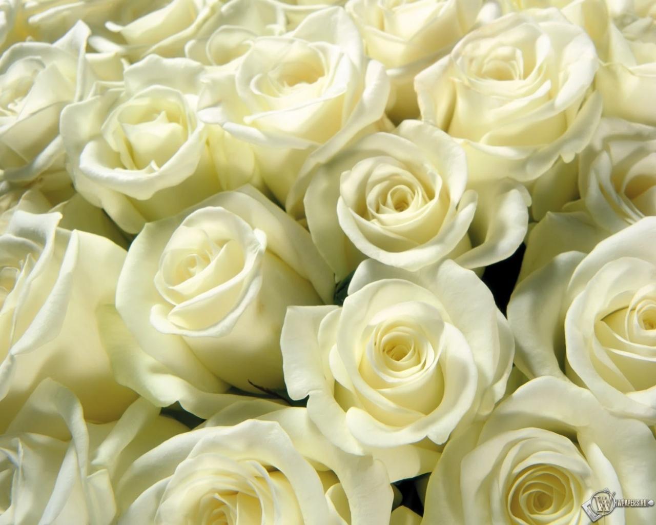 красивые белые розы фото букеты красивые