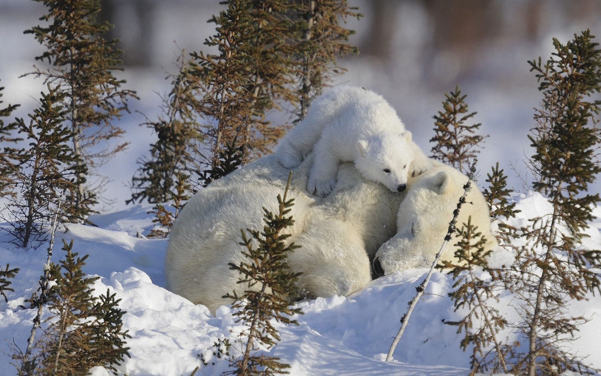 http://lisimnik.ru/wp-content/uploads/2016/01/polar-bears-animals-baby-animals-snow-sleeping-arctic-pole-1920x1200.jpg