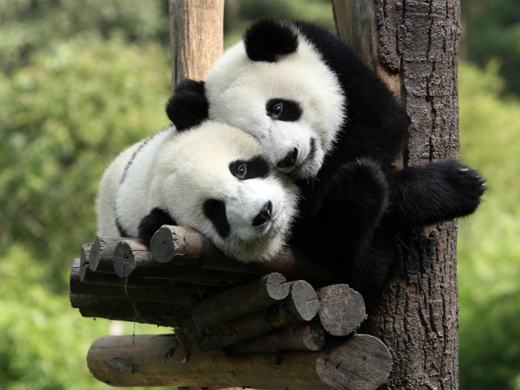 Больша́я па́нда, или бамбу́ковый медве́дь