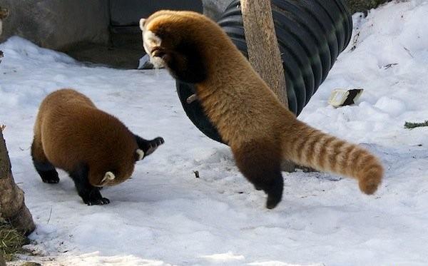 малая красная панда фото