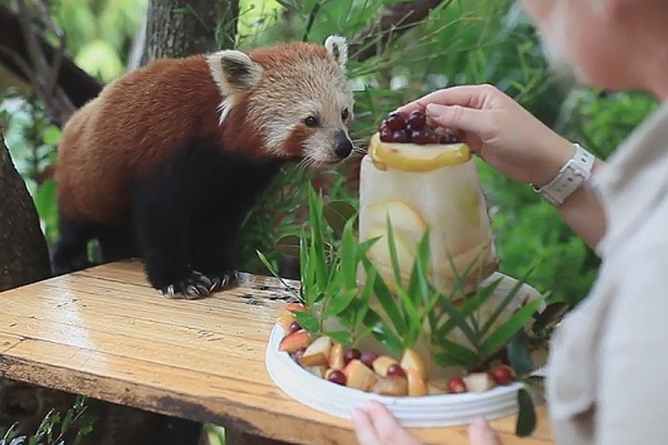малая красная панда