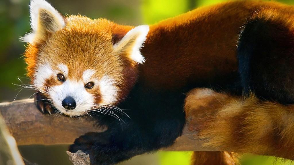 красная панда фото