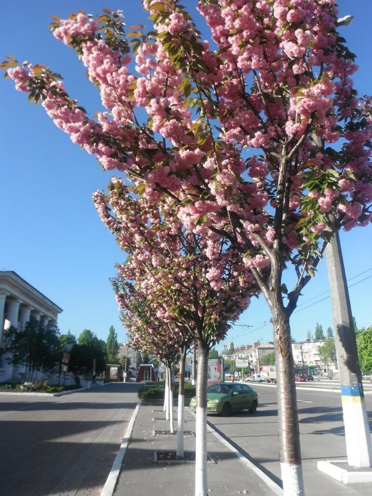 цветет сакура, Кременчуг
