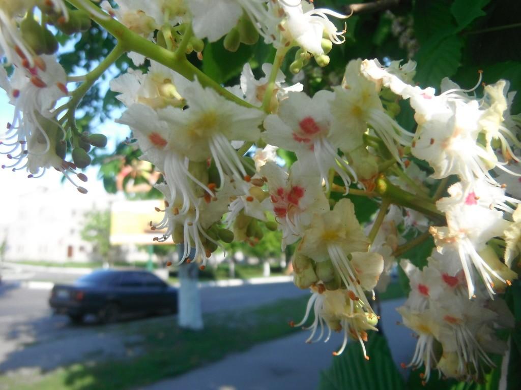 цветёт каштан