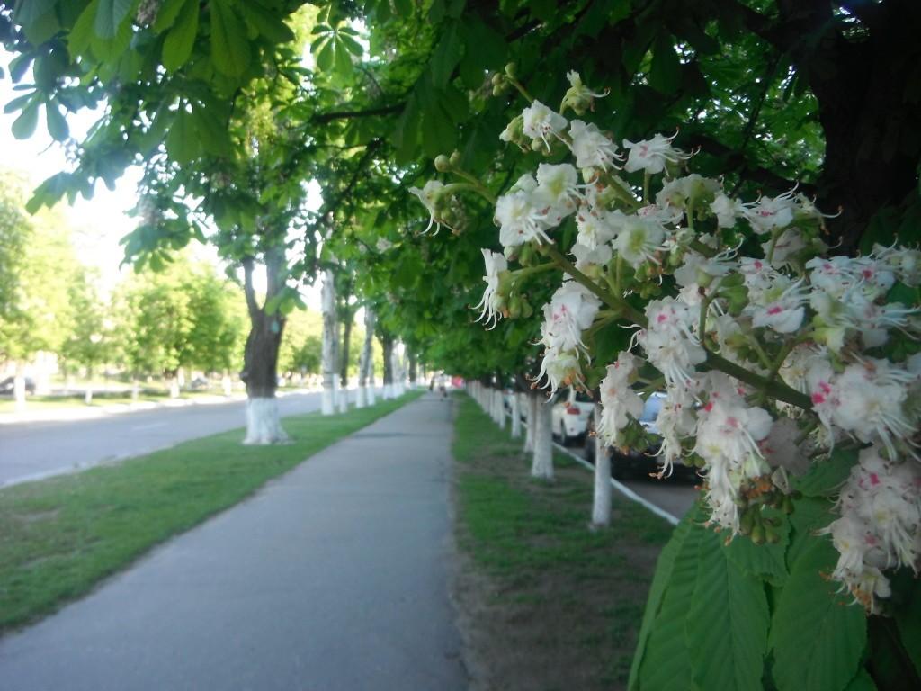 цветут каштаны