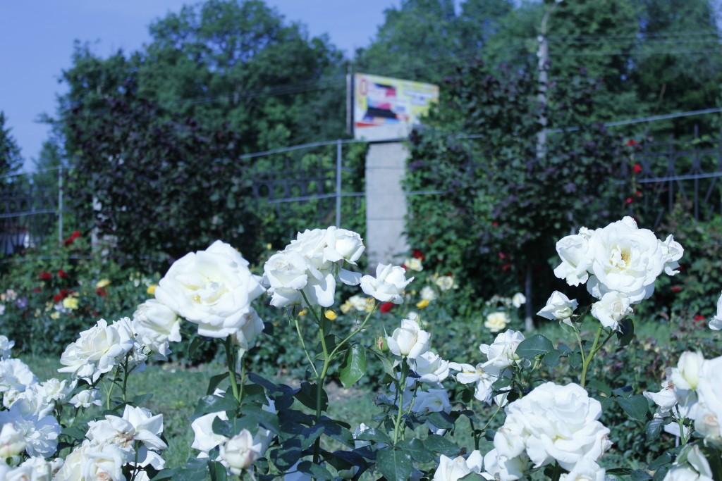 белые розы садовые кустовые