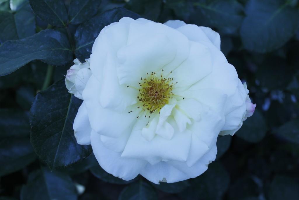 роза белая цветок