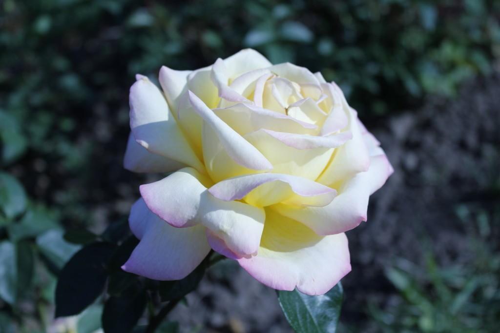 роза цветок