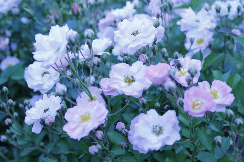 розы в саду кустовые