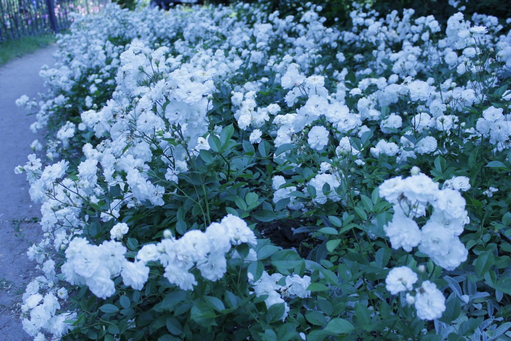 белые розы садовые