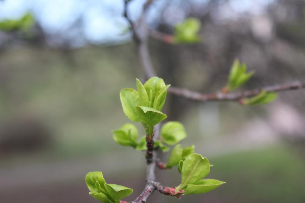 распускаются листья на деревьях веснойраспускаются листья на деревьях весной