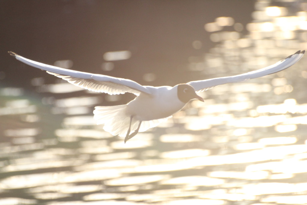 чайки Петрозаводск