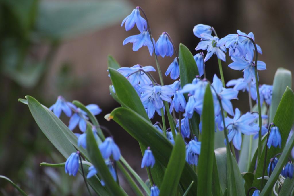 пролески весенние цветы