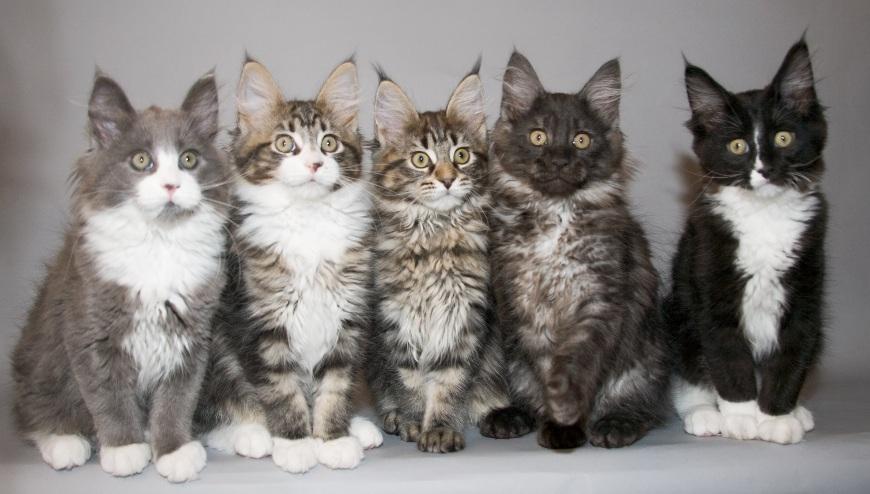 котята породы Мэйн-кун