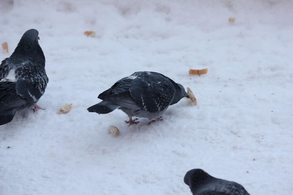 голуби зимой