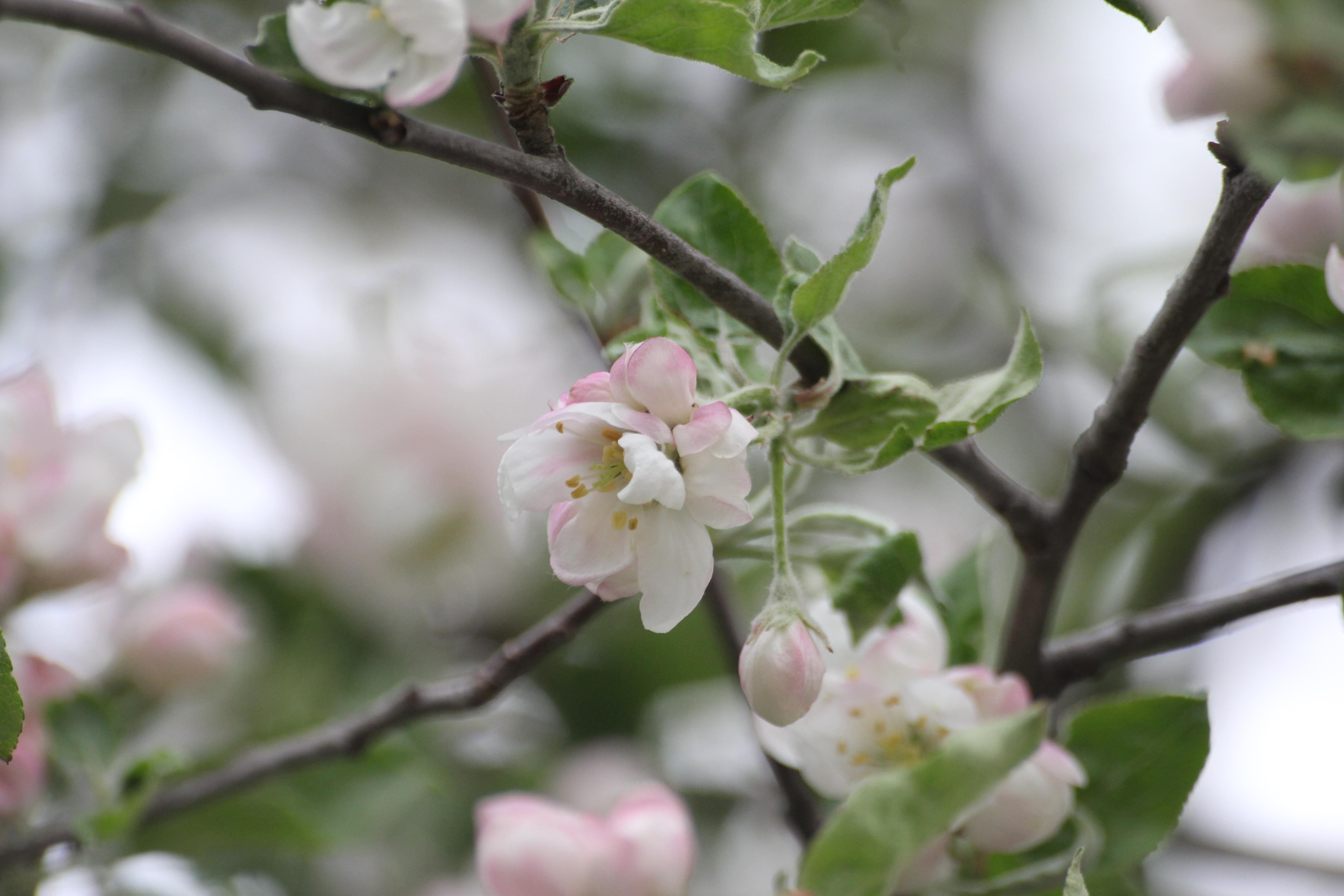 Картинки яблоня цветет