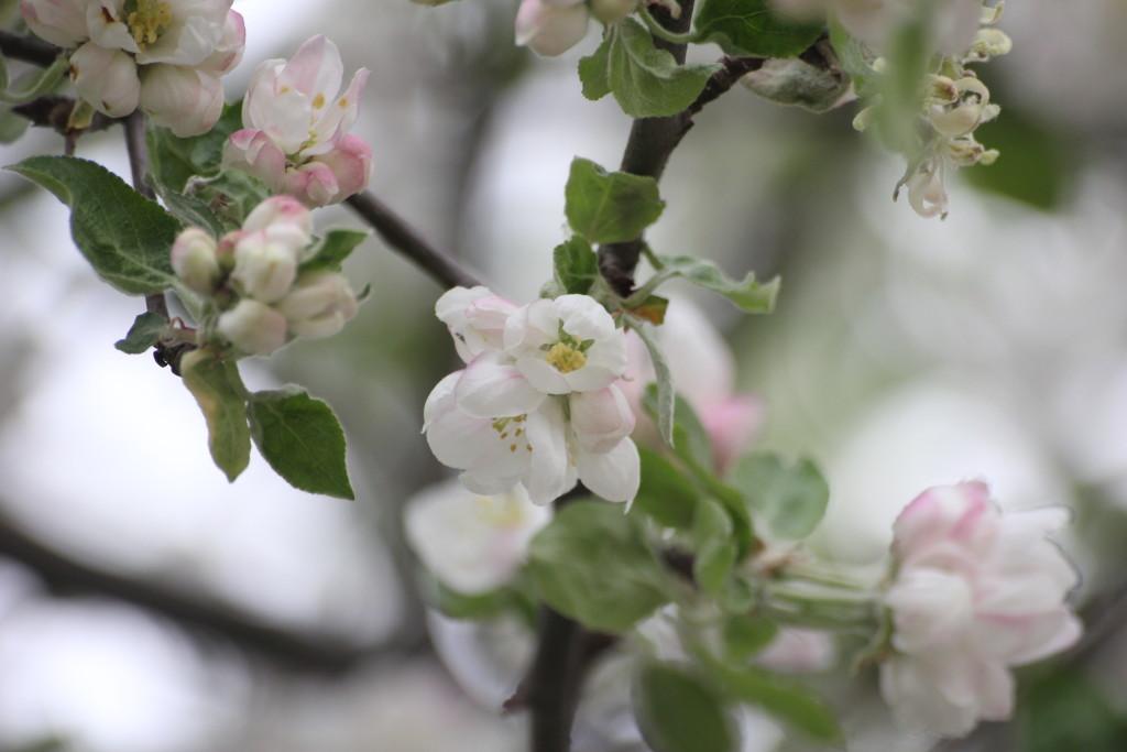 яблони цвет