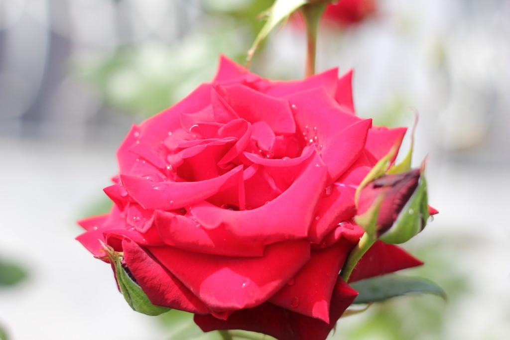 красная роза с каплями росы