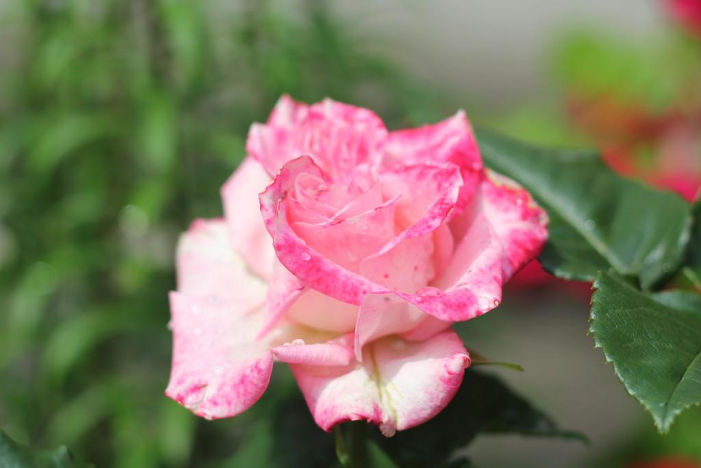 розовые розы с каплями росы