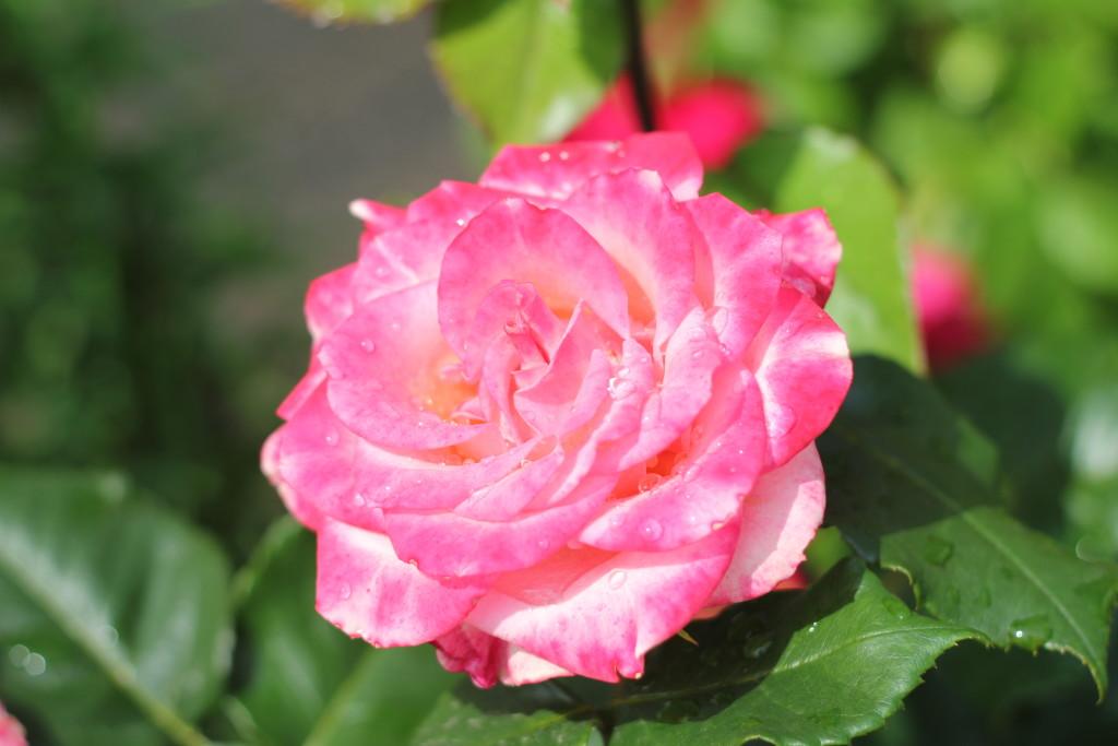 красивые розы с каплями росы