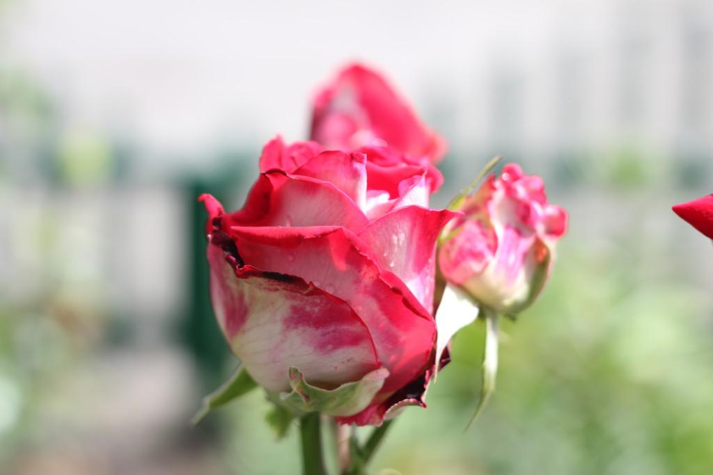 бутоны роз с каплями дождя