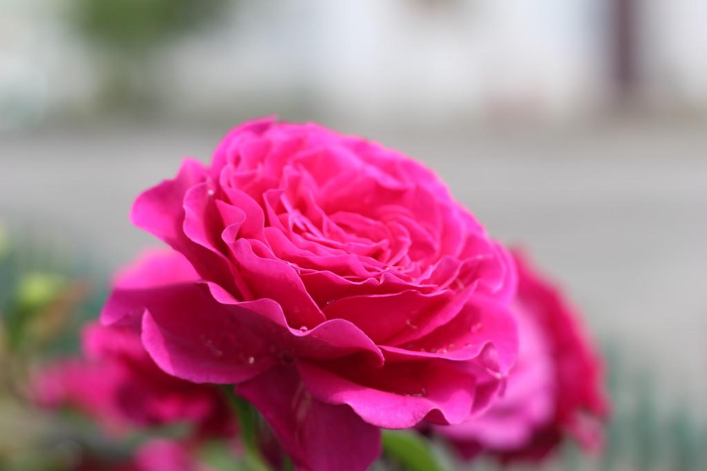 капли росы на цветах