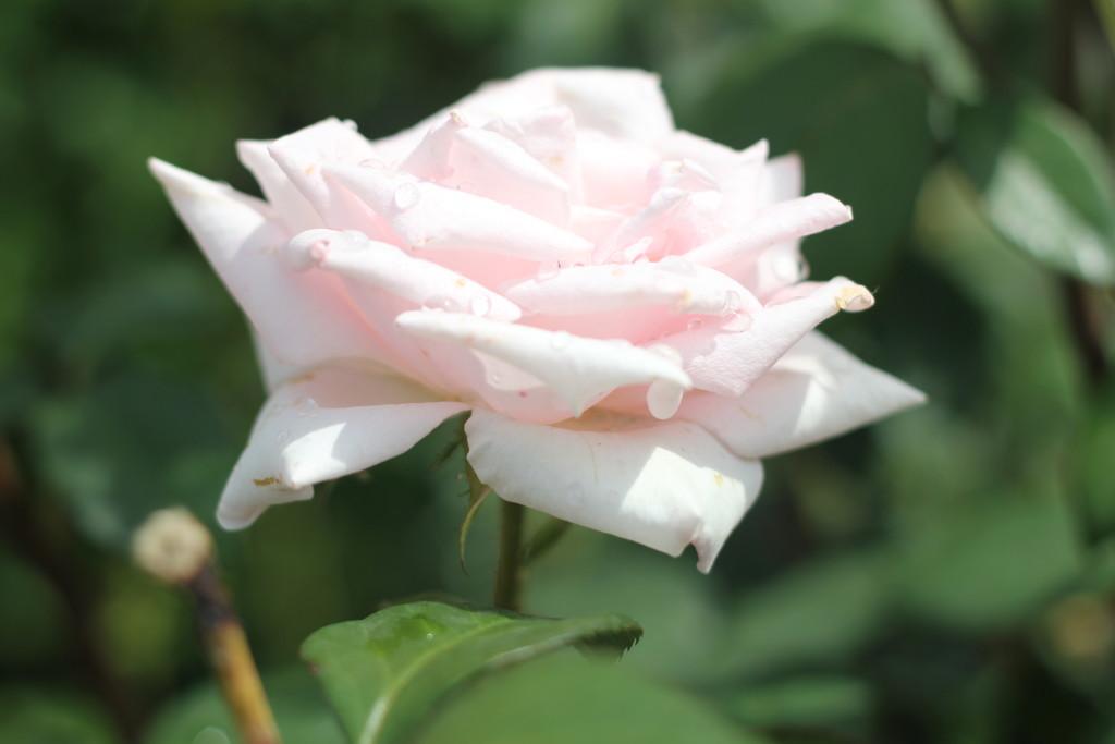 розы с каплями дождя