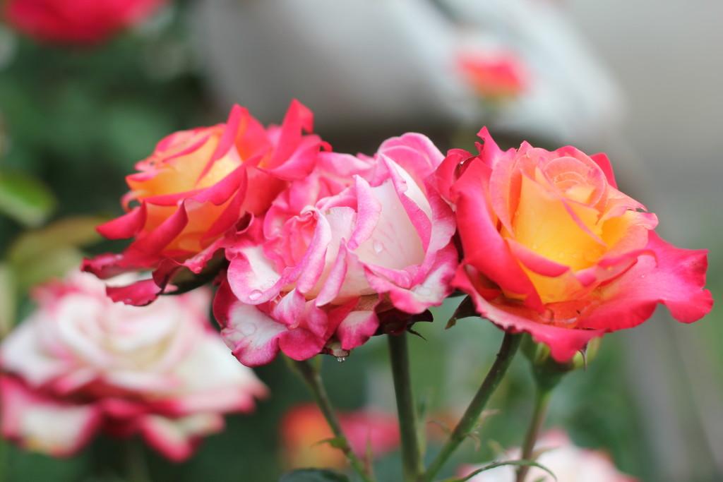 розы с каплями росы