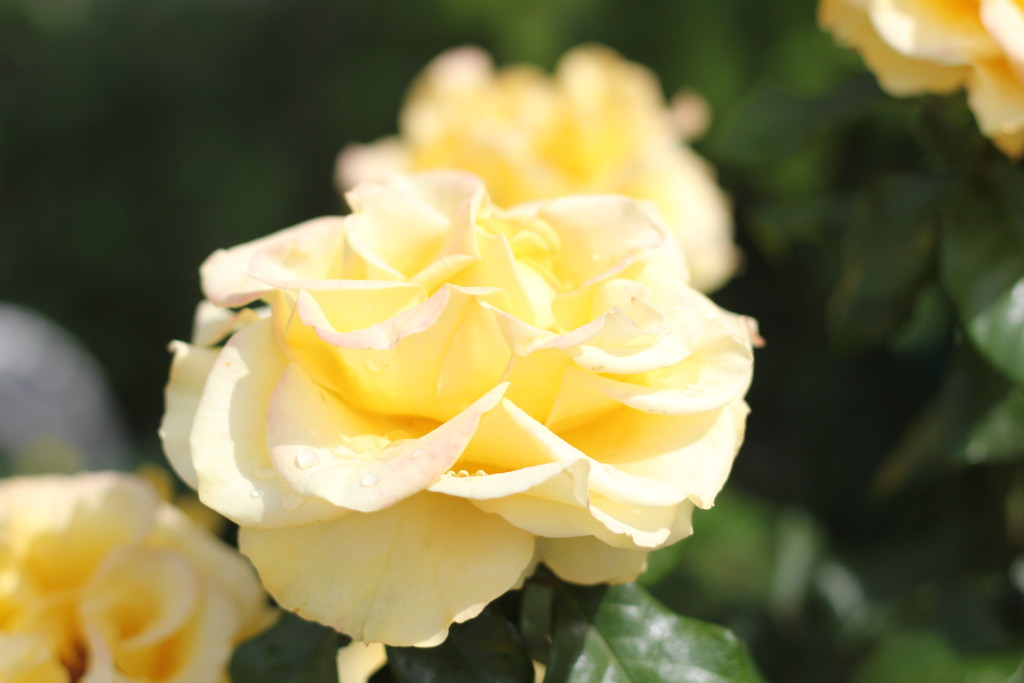 желтые розы с каплями росы