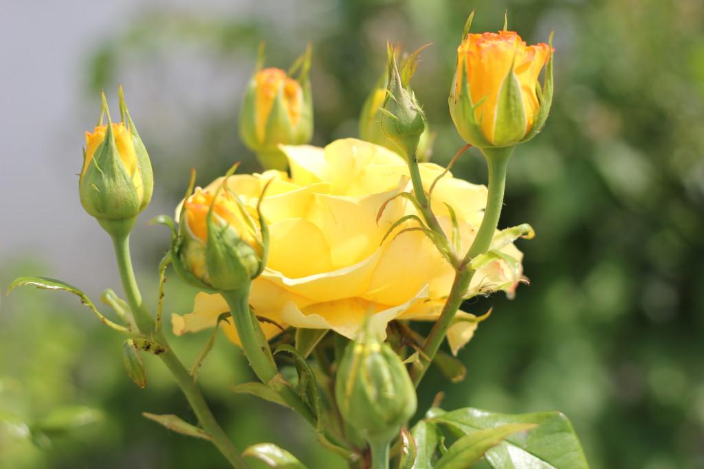 желтая роза после дождя
