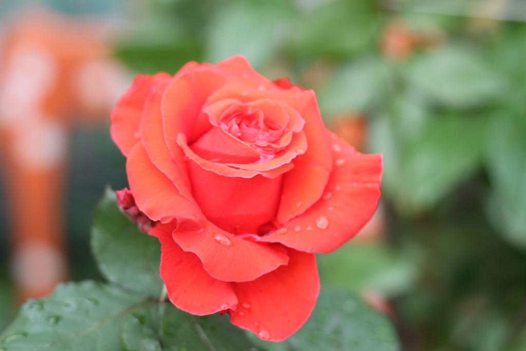 красная роза после дождя