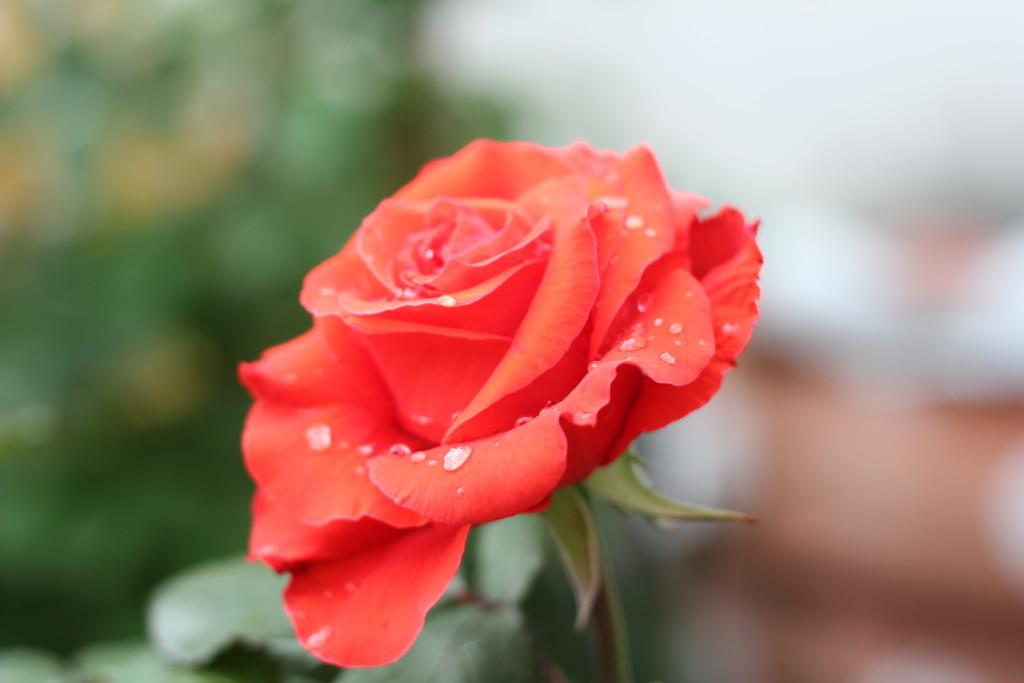 розы после дождя