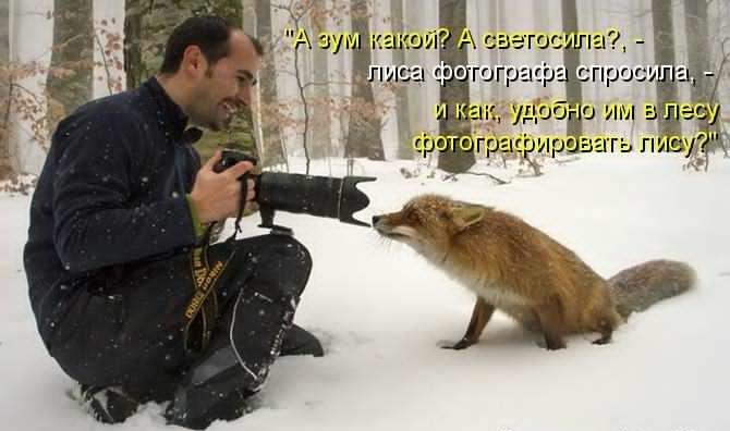 любопытная лиса