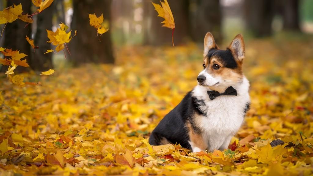 Фото Вельш-корги Собаки