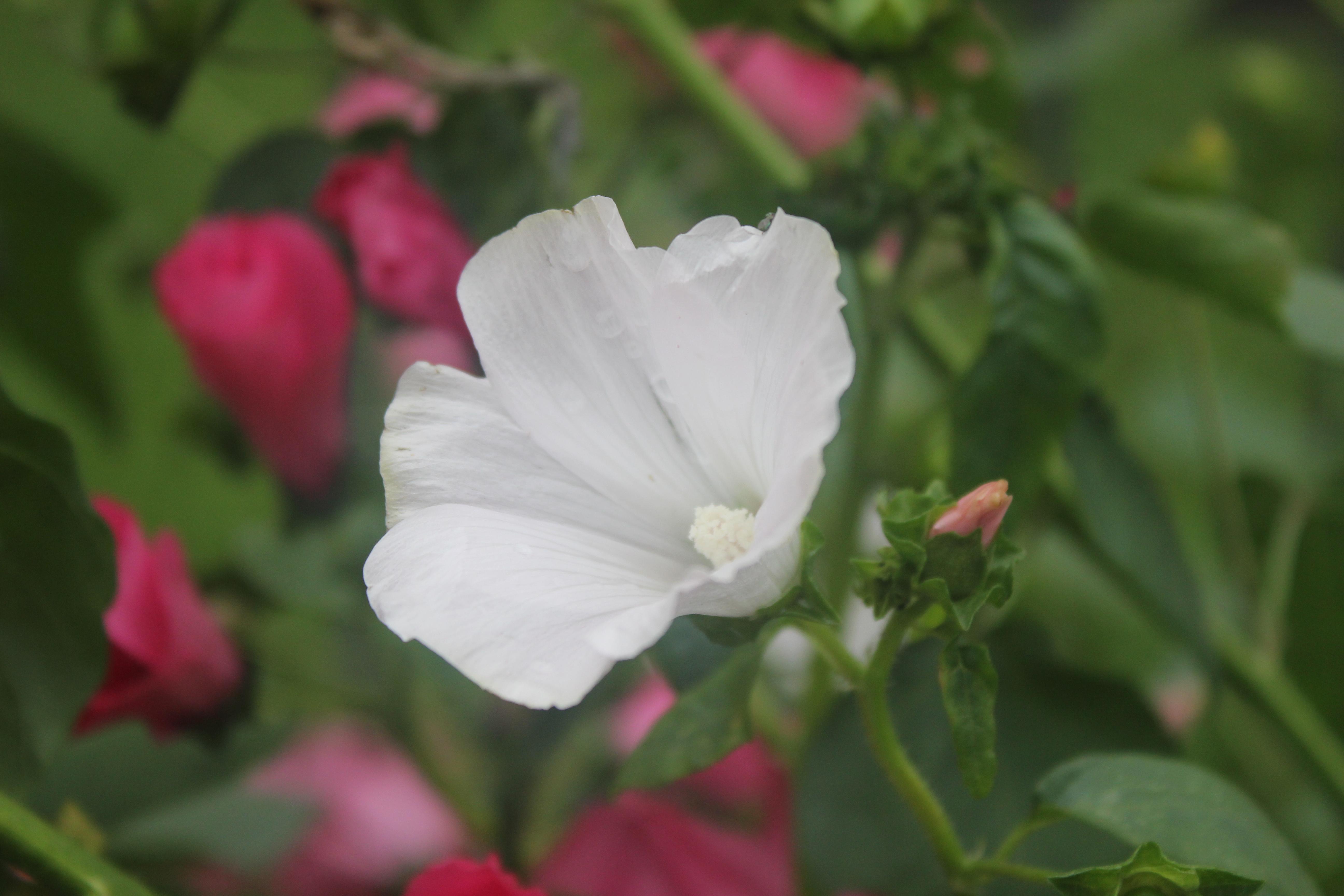 Цветы карелии фото и описание