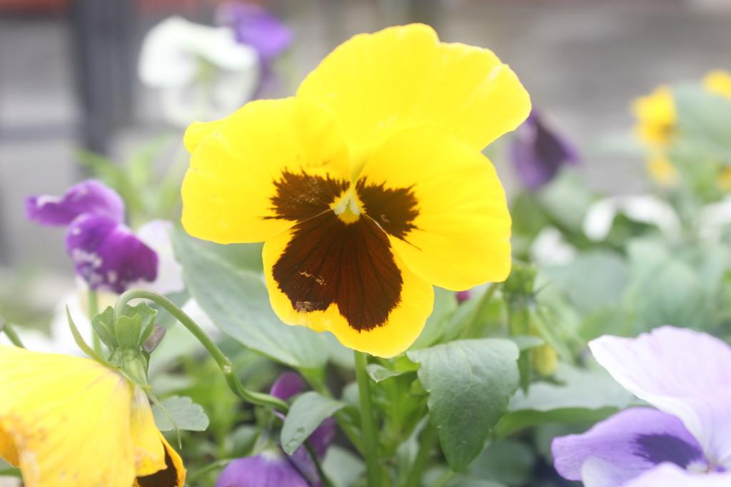 цветы анютки