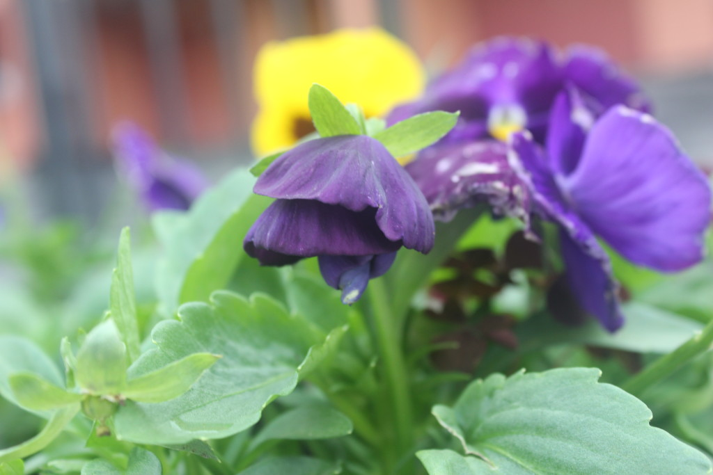 анютки цветы фото