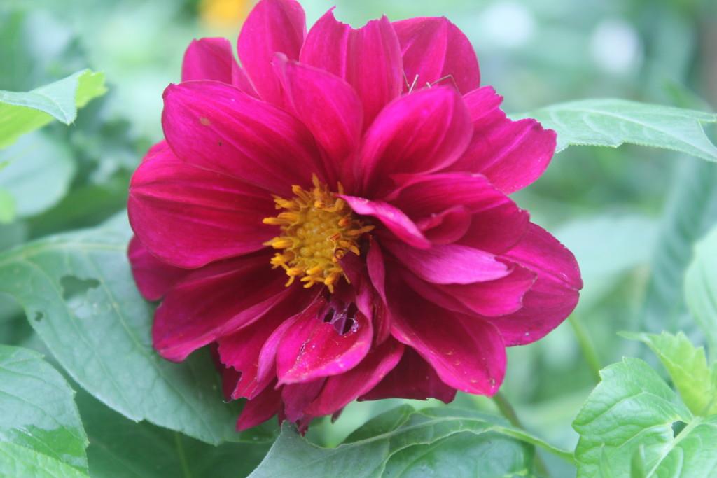 цветы для клумбы фото