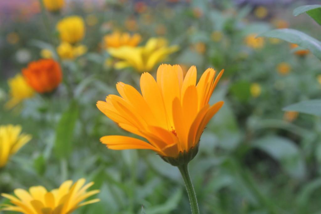 ноготки цветы фото