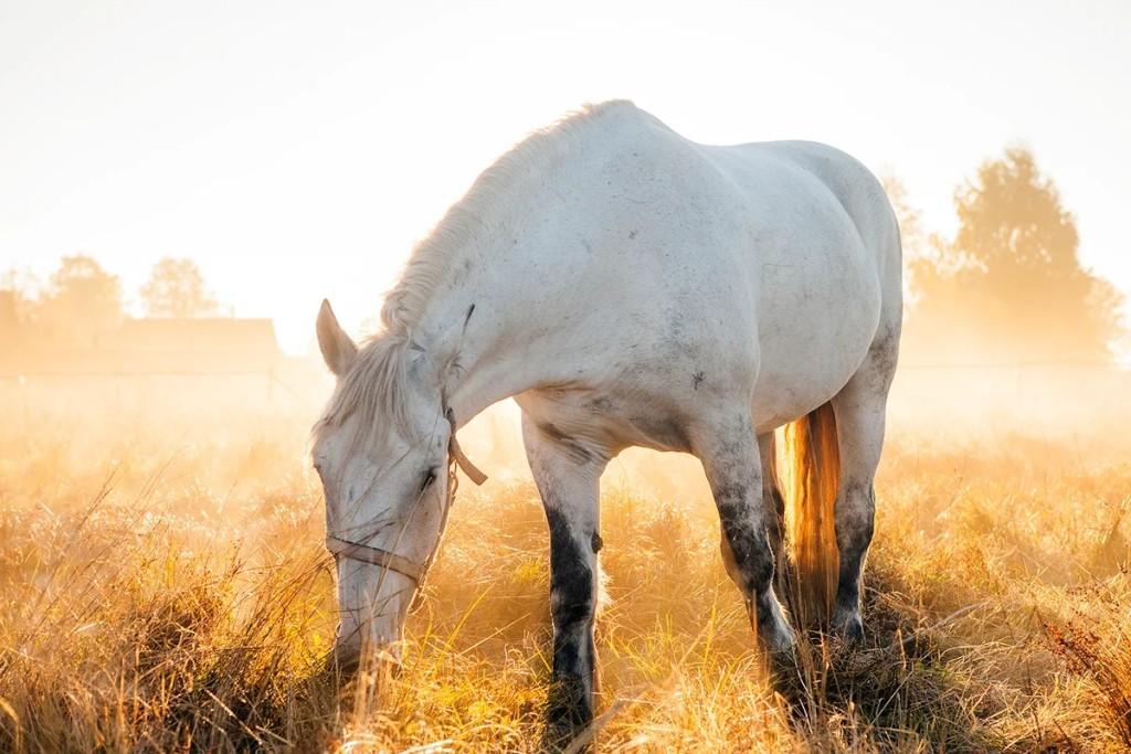 Белоснежная лошадь