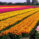 Dutch_Tulip_Fields_I_by_aidavdbrake (1)