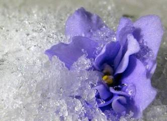 fialka-zima